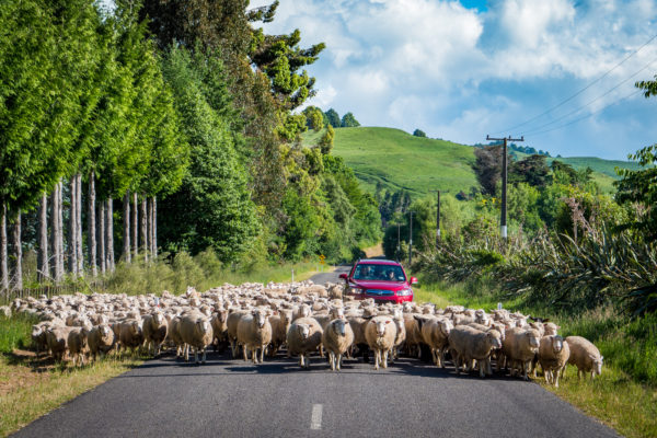 Sheep, Rural Manawatu